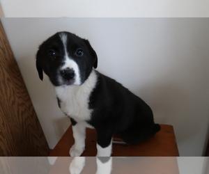 Australian Cattle Dog Puppy for sale in LOUISVILLE, KY, USA