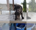 Labrador Retriever Puppy For Sale in EDGEWOOD, WA, USA