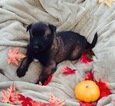 Belgian Malinois Puppy For Sale in DAHLONEGA, GA