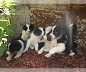 Borador Puppy for sale in LUBLIN, WI, USA