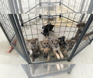 Catahoula Leopard Dog-German Shepherd Dog Mix Puppy for Sale in LAWRENCEBURG, Tennessee USA