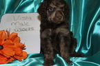 Poodle (Standard) Puppy For Sale in HOISINGTON, KS, USA