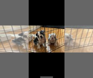 English Bulldog Puppy for Sale in VALLEJO, California USA