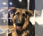 German Shepherd Dog Puppy For Sale in KALISPELL, MT, USA
