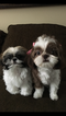 Shih Tzu Puppy For Sale in SANTA FE SPRINGS, CA, USA