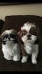 Shih Tzu Puppy For Sale in SANTA FE SPRINGS, CA,