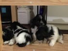 Zuchon Puppy For Sale in YONKERS, NY