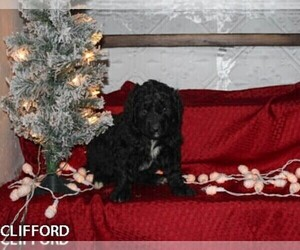 Bernedoodle Puppy for Sale in BONNERS FERRY, Idaho USA
