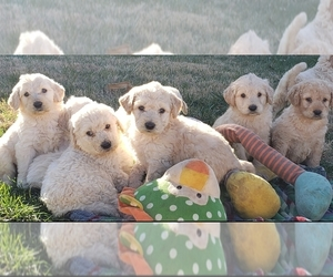 Goldendoodle Puppy for Sale in WINSTON SALEM, North Carolina USA