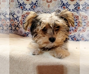 Yorkshire Terrier Puppy for sale in DELANO, CA, USA
