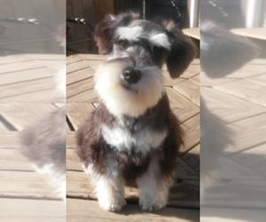 Schnauzer (Miniature) Puppy for sale in TOLEDO, OH, USA