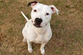 Jaxson - Pit Bull Terrier Dog For Adoption