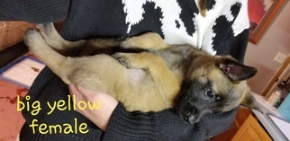 Belgian Malinois Puppy For Sale near 80621, Fort Lupton, CO, USA