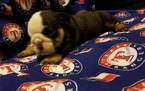 Bulldog Puppy For Sale in DENISON, TX,