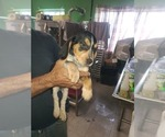 Small #9 Beagle