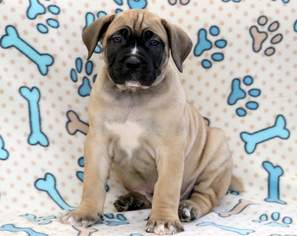 Boerboel Puppy For Sale in MOUNT JOY, PA, USA