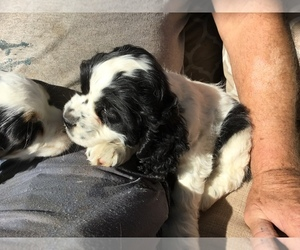 Cocker Spaniel Puppy for sale in CROSS TIMBERS, MO, USA