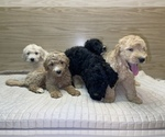 Small #9 Goldendoodle-Poodle (Standard) Mix