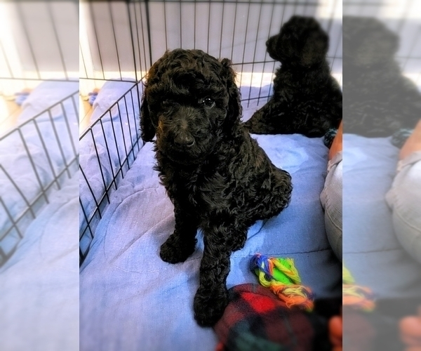 Medium Photo #23 Poodle (Standard) Puppy For Sale in DYERSBURG, TN, USA