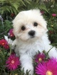 Maltese Puppy For Sale in LOS ANGELES, California,