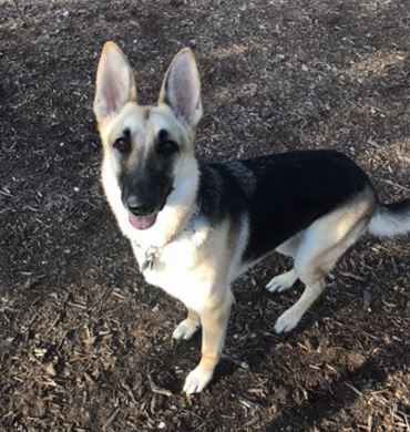 German Shepherd Dog dog