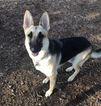 German Shepherd Dog Dog For Adoption in PLANO, TX, USA