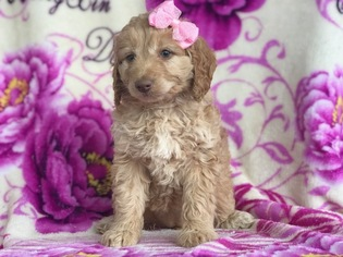 View Ad: Cockapoo-Poodle (Miniature) Mix Puppy for Sale near