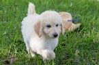 Labradoodle Puppies F1b CKC registered