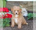 Small #2 Australian Shepherd-Poodle (Miniature) Mix
