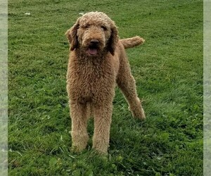 Father of the Goldendoodle puppies born on 12/02/2020