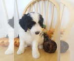 Small Bernedoodle-Goldendoodle Mix