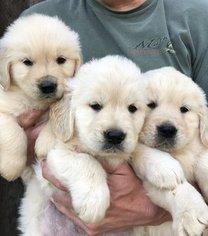 Golden Retriever Puppy For Sale in JASPER, GA, USA