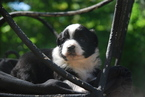 Miniature Australian Shepherd Puppy For Sale in DENVER, CO