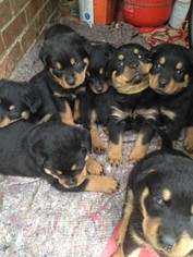 Rottweiler Puppy For Sale in NEW YORK, NY