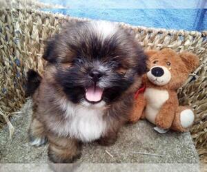 Shiranian Puppy for sale in HUDSON, MI, USA