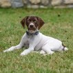 German Shorthaired Pointer Puppy For Sale in MUENSTER, TX, USA