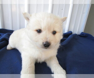 Pomsky Puppy for sale in KALAMAZOO, MI, USA