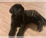 Puppy 8 Mastiff