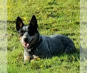 Mother of the Australian Cattle Dog puppies born on 03/14/2021
