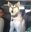 Siberian Husky Dog For Adoption in POWAY, CA, USA