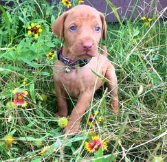 Vizsla Puppy For Sale in FISCHER, TX