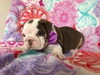 Bulldog Puppy For Sale in EPHRATA, PA, USA