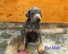 Doberman Pinscher Puppy For Sale near 28904, Hayesville, NC, USA