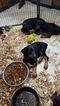 Doberman Pinscher Puppy For Sale in GLEN AUBREY, NY