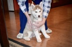 Siberian Husky Puppy For Sale in GRAYSON, LA, USA