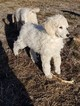 Poodle (Standard) Puppy For Sale in WRAY, CO,