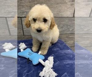 Cantel Puppy for sale in RICHMOND, IL, USA