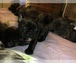 Puppy 2 French Bulldog-Frenchie Pug Mix