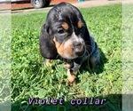 Puppy 3 Bluetick Coonhound