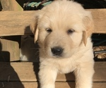Small #5 Golden Pyrenees
